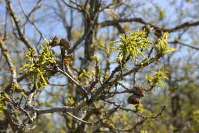 Bur oaks acorns are buried by squirrels in mast years.