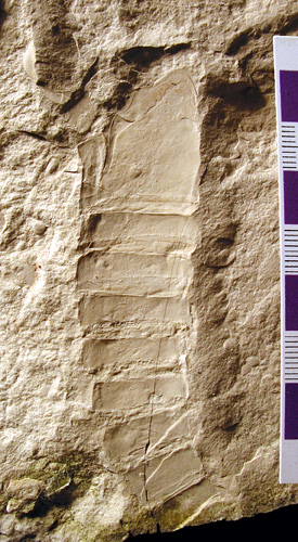 An Ordovician eurypterid from the Grand Rapids Uplands (specimen I-4036B)