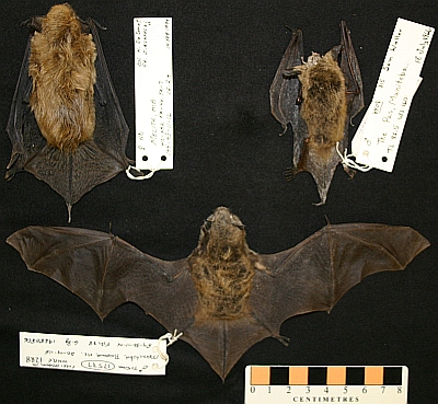 "The three ""cave"" bats of Manitoba: big brown bat (Eptesicus fuscus), upper left; northern long-eared bat (Myotis septentrionalis); little brown bat (Myotis lucifugus). These hibernate is caves over winter."