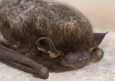 The face of a silver-haired bat (Lasionycteris noctivagans). This little fellow (it was a male) waited too long to leave the province and was found dead on a Winnipeg sidewalk. He will be donated to be part of the research collection, available to provide a little more knowledge about these  poorly-known mammals.