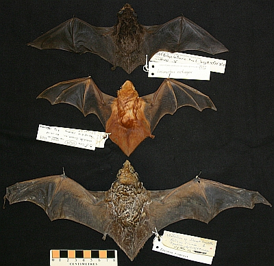 """The three species of """"tree bats"""" in Manitoba (from top to bottom): silver-haired bat (Lasionycteris noctivagans, MM 9972, 11.7 g, Portage La Prairie); eastern red bat (Lasiurus borealis, MM 17529, 9.5 g Pinawa); hoary bat (Lasiurus cinereus, MM 15008, 27.8 g, Tiger Hills). These species migrate south to avoid our winters."""