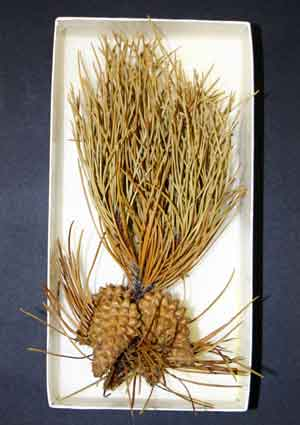 Pines are popular Christmas trees.  This is a specimen of Lodgepole Pine in the Museum's collection.