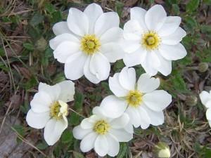 wildflower_chruchill
