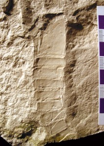One of the William Lake eurypterids in our collection