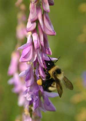 This bumblebee loves eating Hedysarum nectar!