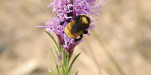 Bumblebee-on-Dotted-Blazingstar-in-Mars-Sand-Hills3