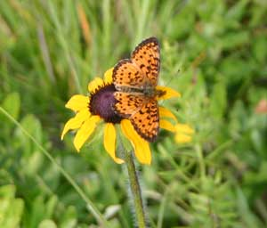Butterflies like flat-topped asters like this black-eyed Susan.