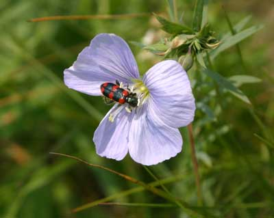 A red checkered beetle on a wild blue flax flower.