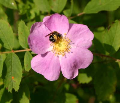 This little sweat bee was feasting on rose pollen.