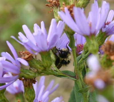 A photograph of a wet bumblebee on a Lindley's aster (Symphyotrichum laeve).