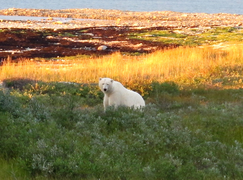 "The ""standard"" image of Churchill: a polar bear in coastal vegetation"