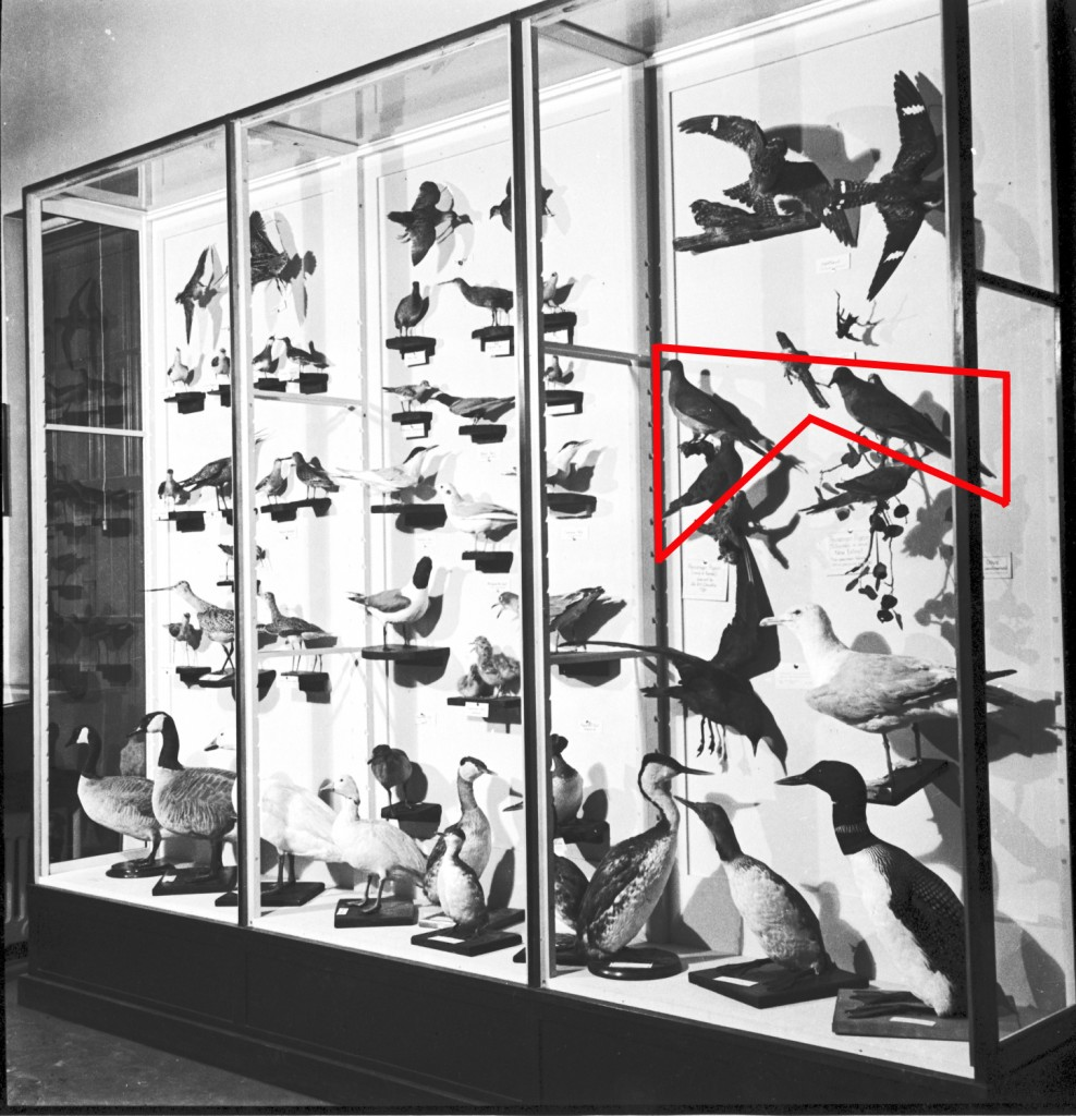 Some of the old bird cases as they were in the Civic Auditorium in the mid-1930s. The passenger pigeons are within the red lines. These three mounts are still in the Museum collection today.