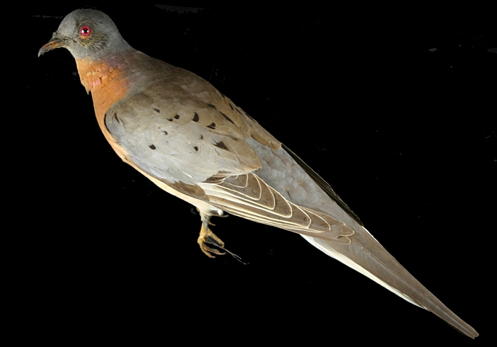 One of our passenger pigeons (Ectopistes migratorius), a male, about 38cm long. MM 1.2-2391