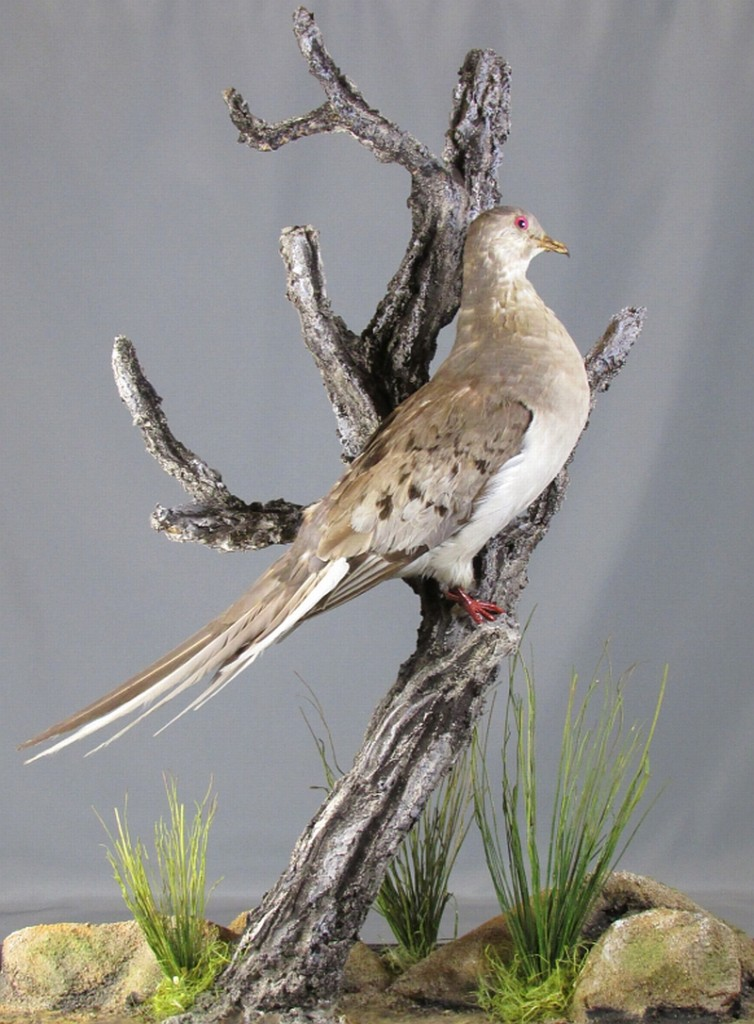 A recent addition to the Museum's passenger pigeon collection, a beautiful mount of a female generously donated by the Delta Waterfowl Foundation just last year. Note the female lacks the orange breast and bluish back of the male, and is slightly smaller. MM 1.2-5437