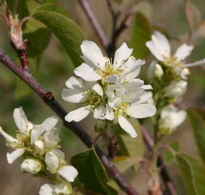 A photograph of the white flowers of Saskatoon berry (Amelanchier alnifolia).