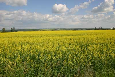 A photograph of a field of yellow canola in flower.