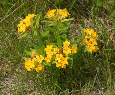 A photograph of the bright yellow flowers of the hoary puccoon plant.