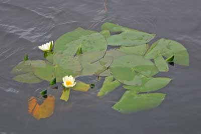 Lori's Water-lily (Nymphaea loriana) floating in the river.