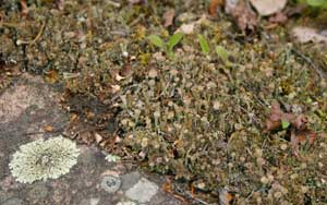 A photograph of rock, pixie-cup and dog lichens growing on granite.