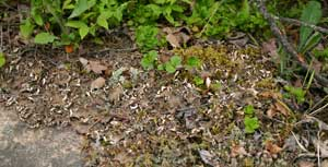 A photograph of a dog lichen growing on the forest floor.