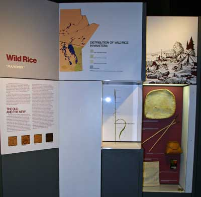 An image of the wild rice exhibit featuring wild rice grains, a plant model, distribution map and harvesting tools.