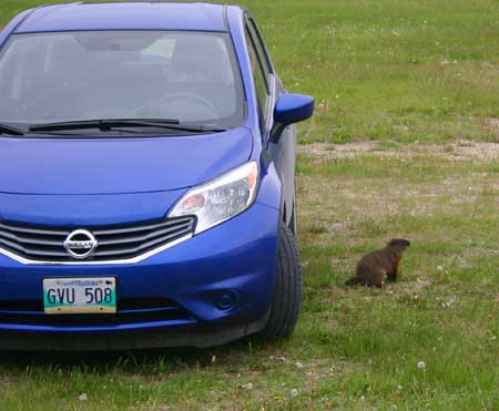 An image of a woodchuck sitting next to a blue car.
