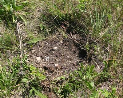 A photograph of a hole dug by a black bear.