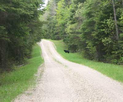 An image of a black bear along a roadside.