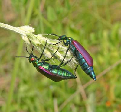 A photograph of two purple and green irridescent blister beetles.