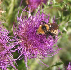A photograph of a yellow and black bumblebess on a purple thistle flower.