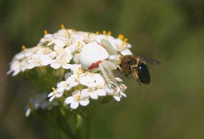 A photograph of a white and pink crab spider on a white common yarrow plants eating a small brown bee.