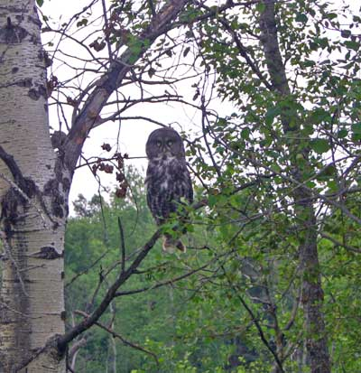 A photograph of a Great Grey Owl sitting on an aspen branch.