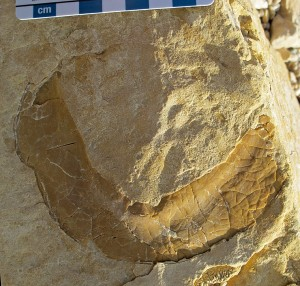 The pygidium (tail) of the Ordovician trilobite Isotelus