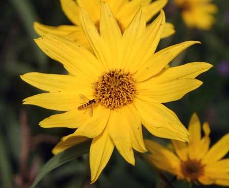 Syrphid flies prefer regular flowers like this sunflower (Helianthus).