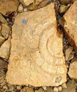 The one we couldn't leave behind: this beautiful Ordovician coiled nautiloid cephalopod is now in transit to Winnipeg, along with the other fossils we collected.
