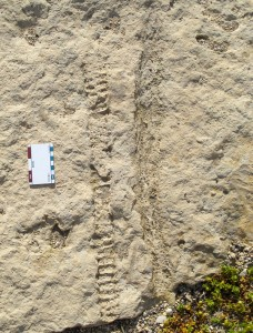 Old friends: we have been walking past this block of Ordovician stone for the past fifteen years or more. The elongate fossil on the left is the central tube (siphuncle) of a nautiloid cephalopod, while on the right is an tall aulacerid stromatoporoid (sponge).