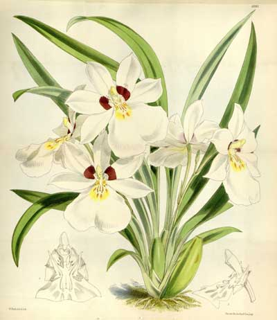 Obsessed orchid hunter Benedict Roezl discovered this orchid, Miltoniopsis roezlii which was subsequently named after him. Image from plate 6085 in Curtis's Bot. Magazine (Orchidaceae), vol. 100, (1874).