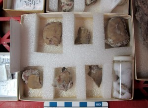Components of a trilobite that may belong to the genus Failleana (that's a cranidium, the mid-part of a head, on the upper right)