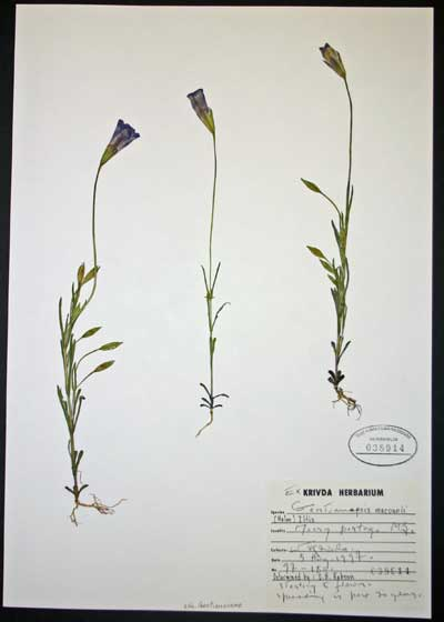 Macoun's Gentian (Gentianopsis macounii) was named after the obsessive Irish-Canadian plant collector John Macoun. TMM B-38914.
