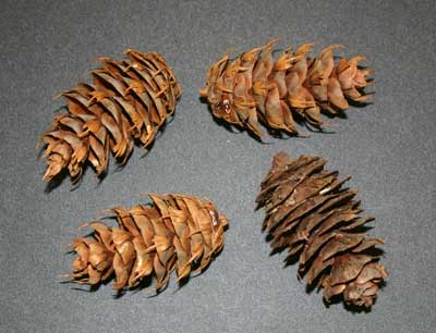 Cones of Douglas-fir (Pseudotsuga menziesii) from the Museum's collection. TMM B-C-3.