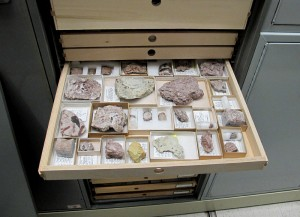One of the drawers of Stony Mountain trilobites