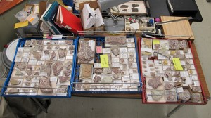 Some of the catalogued trilobites, ready to be filed away