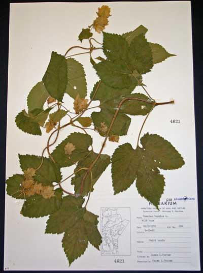 Hops (Humulus lupulus) grows wild in Manitoba.