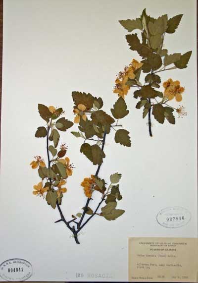 A preserved herbarium specimen of crab apple (Malus sp.) in flower.