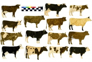cow cutouts