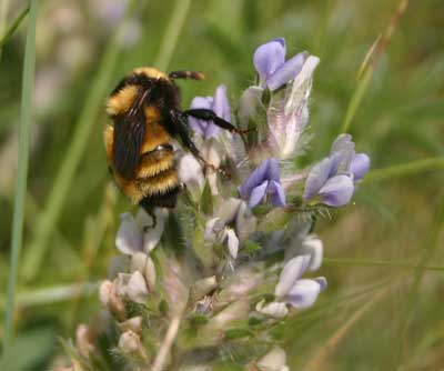 This bumblebee (Bombus) is fertilizing a breadroot (Pediomelum esculentum) plant so it can have babies. The bee gets paid with a delicious drink of nectar.