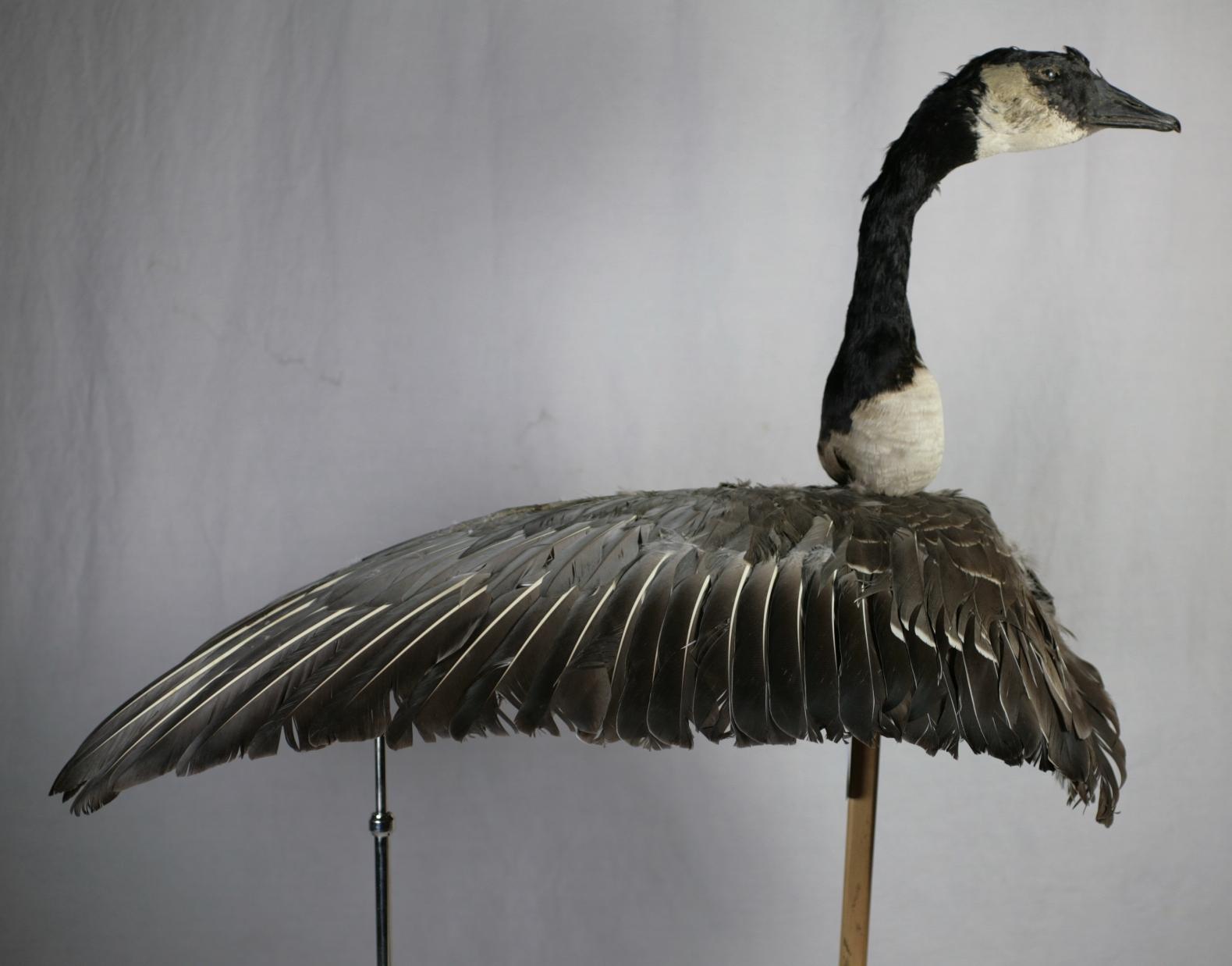 canada goose BRITTANIA tanio
