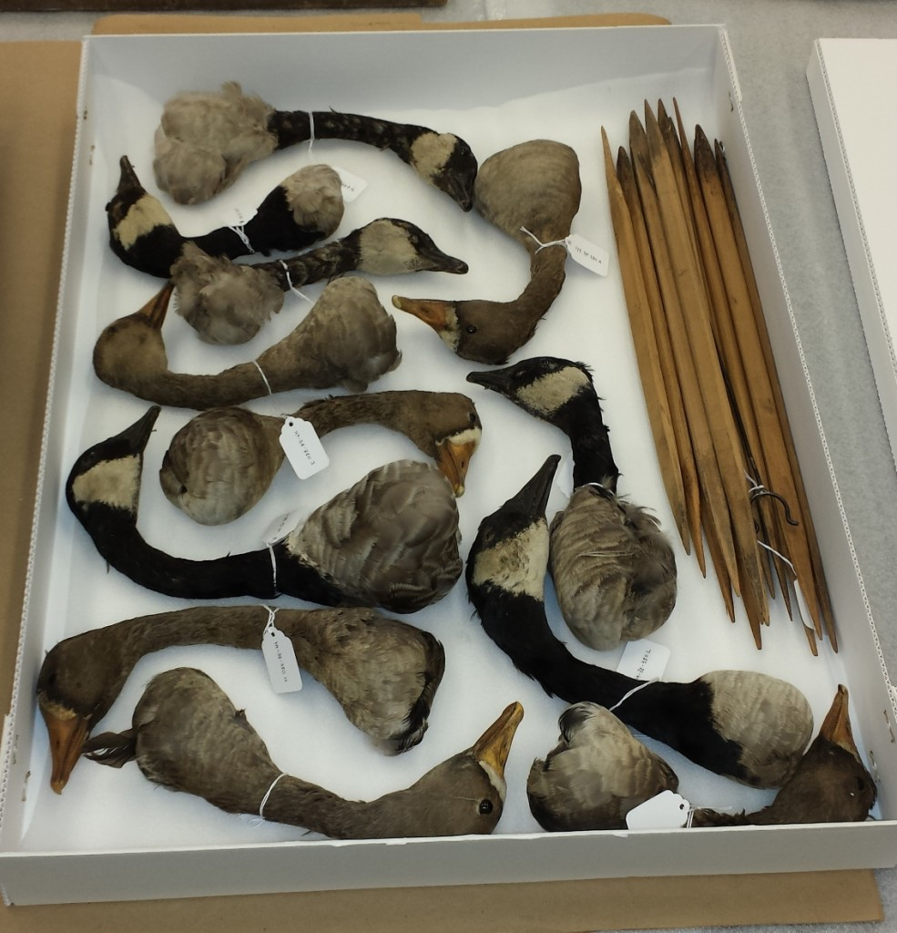 Preserved goose heads, neatly arranged. The stakes  are in the top right hand corner. H9-38-380. Copyright The Manitoba Museum.