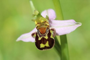 Photograph of a bee orchid.