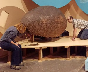 Bert Valentin crawls under the glyptodont to saw the head off, while Janis Klapecki and Sean Workman assist. The head will be taken out for conservation work, while we move the glyptodont's carapace.